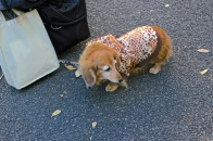 Obedient and absurdly dressed dog